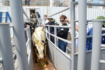 Dairy firm imports high-yield cows from the US