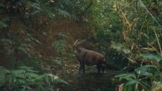 Vietnam's Bach Ma National Park selected to host world's first saola breeding centre