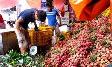 Lychee production brings revenue of US$233 million to Bac Giang farmers