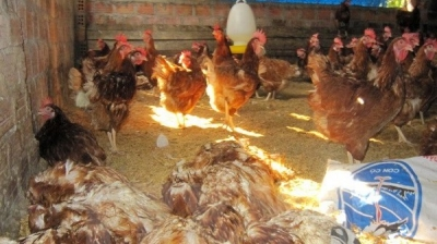 Vietnam to produce own avian influenza vaccine from 2018