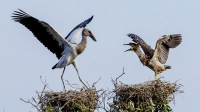 More Asian openbill storks flock to ecotourism site in Dong Thap