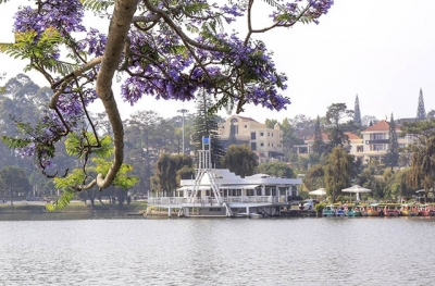 Vibrant violet flamboyant flower season in Da Lat