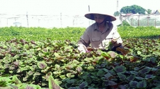 Vietnam's organic farming expansion faster than world average