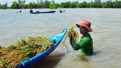 Mekong Delta famers rush to harvest rice against complex flooding