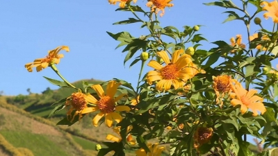 Mexican sunflower festival kicks off in Gia Lai province