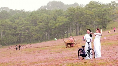 Da Lat: Pink grass festival opens at foot of Lang Biang mountain