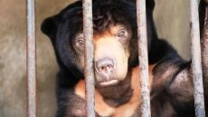 Tay Ninh: 50kg sun bear rescued after 15 years in captive