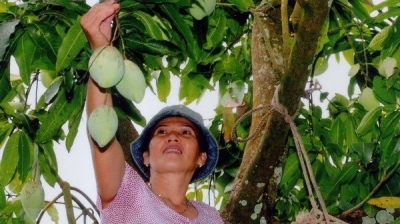 Vietnam officially begins mango exports to US