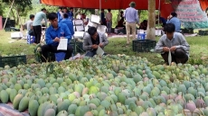 Son La mangoes set foot in demanding markets