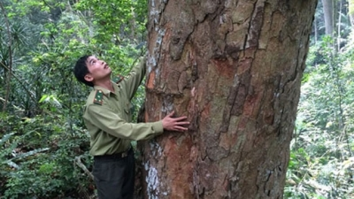 Bac Kan zones off nearly 600 hectares to protect ancient trees