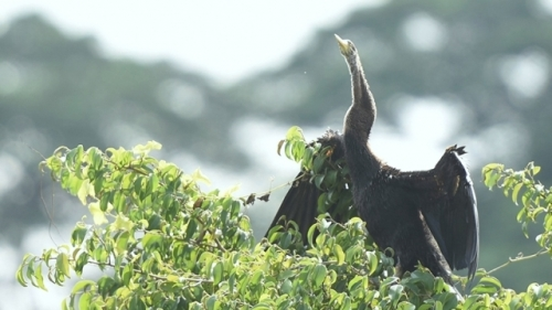 Endangered 500 snakebird flock discovered in Dong Nai