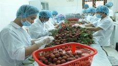 Door opened for Vietnamese fresh lychee exports to Japan