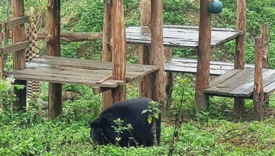 Ninh Binh: bear sanctuary attracts foreign tourists