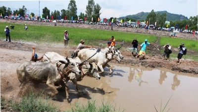 Ox racing festival in An Giang to be upgraded to international festival