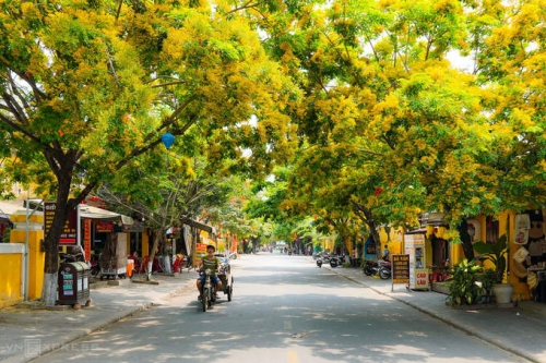 Hoi An ancient town brilliant with yellow Dalbergia tonkinensis flowers