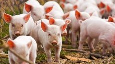 Vietnam to import live pigs to cut live hog prices at home