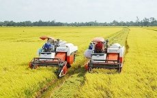 Rice prices in Mekong Delta on the increase