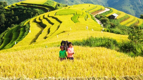 Harvesting rice on terraced fields