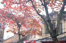 Brilliant Hanoi in leaf-changing season of 'bang' trees