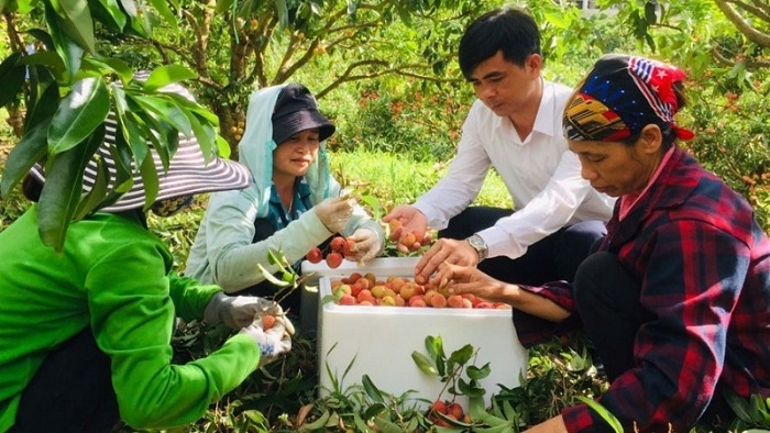 Government allows foreign traders to enter Vietnam to purchase lychees in Bac Giang